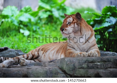 Golden Tiger in China - stock photo