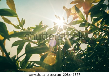 Golden Trumpet flower or Allamanda cathartica in the garden or nature park vintage - stock photo