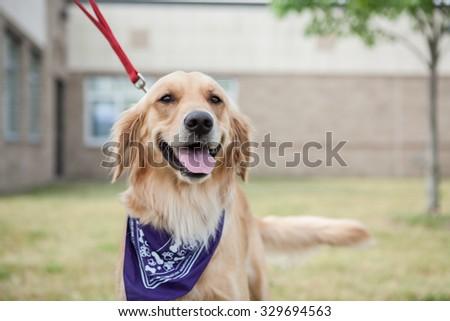 Golden wearing a bandana outside  - stock photo