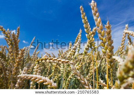 Golden wheat field and blue sky in the the background - stock photo