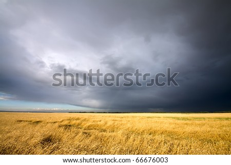 golden wheat field and dark cloudy sky - stock photo