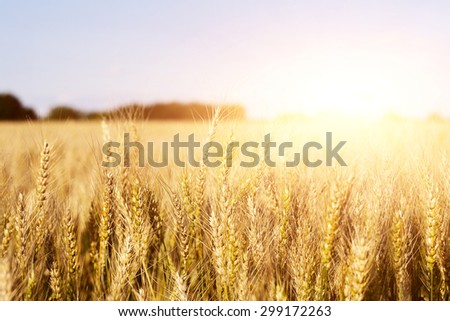 Golden wheat field at courtyside scenic landscape - stock photo
