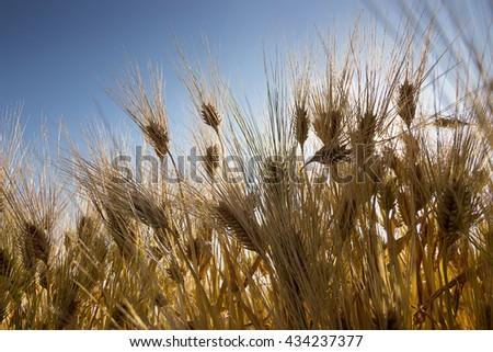 Golden Wheat field, Barley field on sunny day, Blue sky, rich harvest Shallow depth of field - stock photo