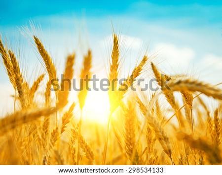 Golden wheat field in summer - stock photo
