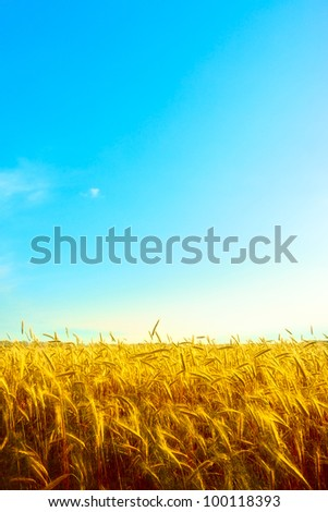 golden wheat field with blue sky background - stock photo