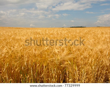 golden wheat field with cloudy blue sky - stock photo
