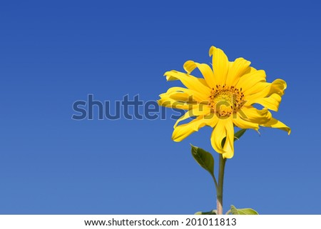 golden yellow sunflower against a brilliant blue sky with copy space - stock photo