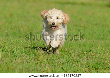 Goldendoodle Dog puppy 3 months designer dog, Poodle , Golden Retriever - stock photo