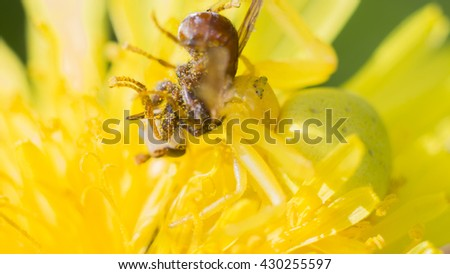 Goldenrod crab spider (lat. Misumena vatia), eats the caught fly, selective focus with shallow depth of field.  - stock photo