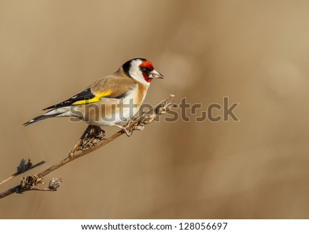 Goldfinch - stock photo