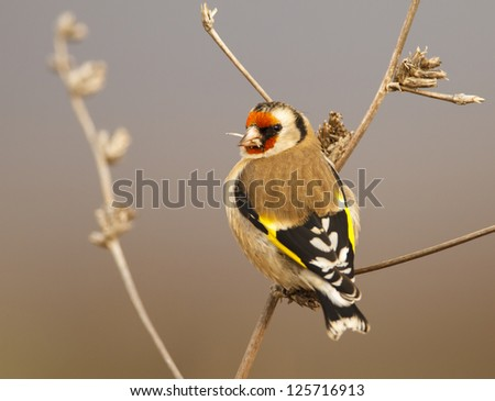 Goldfinch (Carduelis carduelis) - stock photo
