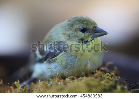 Goldfinch recovering from a window collision rests on a patch of moss. - stock photo