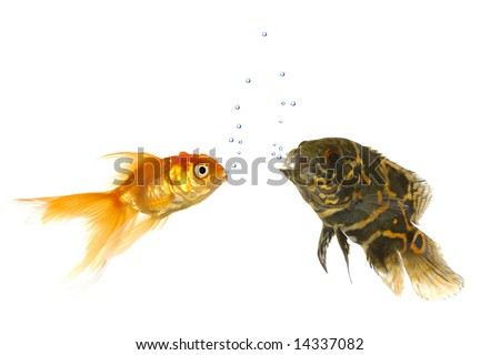 Goldfish and tiger oscar fish are comunicating with air bubbles - stock photo