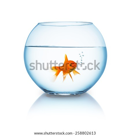 goldfish breathes in a fishbowl on white background - stock photo