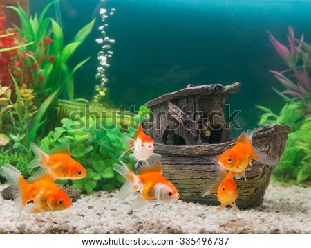 Goldfish in freshwater aquarium with green beautiful planted tropical - stock photo