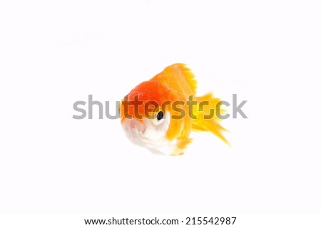 Goldfish in gold and orange color with swimming action in fishbowl in the scene represent the whole body of fish and clear water.  - stock photo