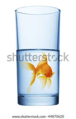 goldfish in water glass,  white background. - stock photo