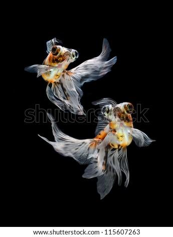 goldfish isolated on black background - stock photo