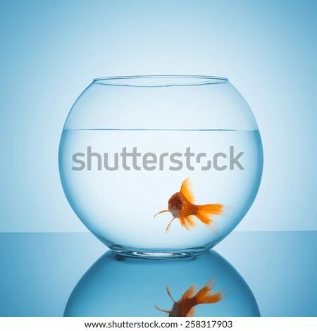 Goldfish looks amazed in a fishbowl - stock photo