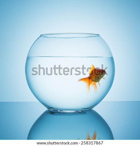 goldfish looks interested in a fishbowl - stock photo