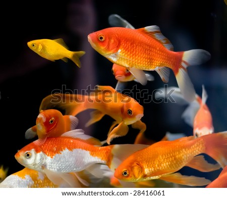 goldfish ( many ) - stock photo