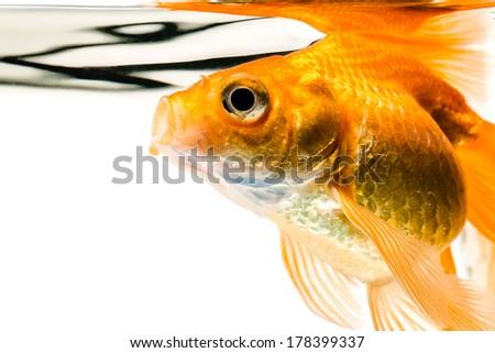 Goldfish on a white background - stock photo