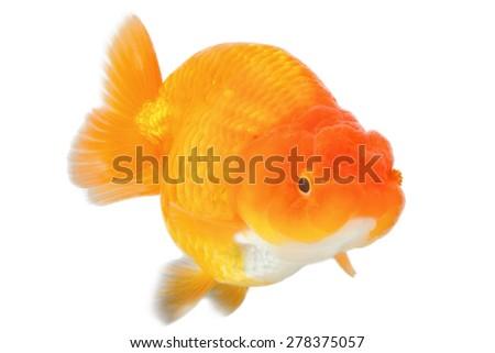 goldfish on white background - stock photo