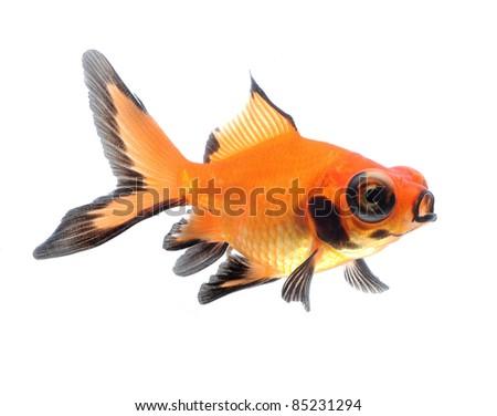 goldfish pet isolated on white background - stock photo