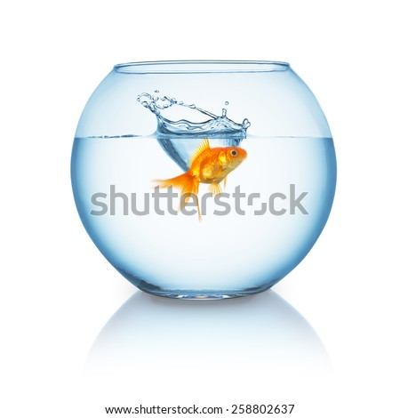 goldfish splashes in to a fishbowl on white background - stock photo