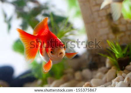 goldfish sucks a rocks in the aquarium - stock photo