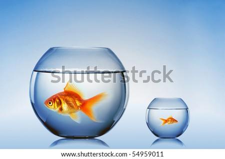 Goldfish swim in an aquarium - stock photo