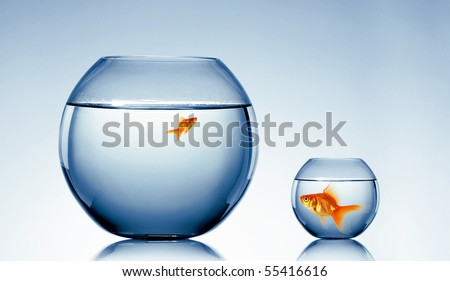 Goldfish swim in an aquarium with water. - stock photo
