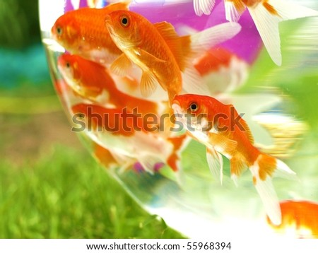 goldfishes in bowl - stock photo