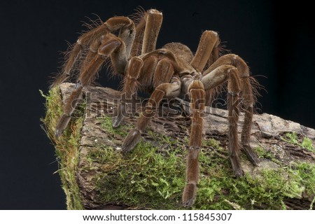 Goliath bird eater spider / Theraphosa lablondi, biggest spider species in the world. - stock photo