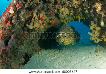 Goliath Grouper hovering in a cement culvert part an artificial reef south east Florida. - stock photo