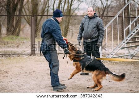 GOMEL, BELARUS - FEBRUARY, 20, 2016: German shepherd dog training. Biting dog. - stock photo