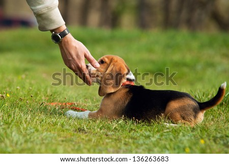 Good doggy. Master hand with delicacy for beagle puppy - stock photo