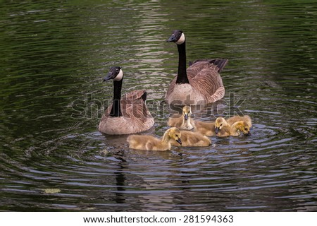 Goose Family (Brant canadensis) Swims - five goslings - stock photo