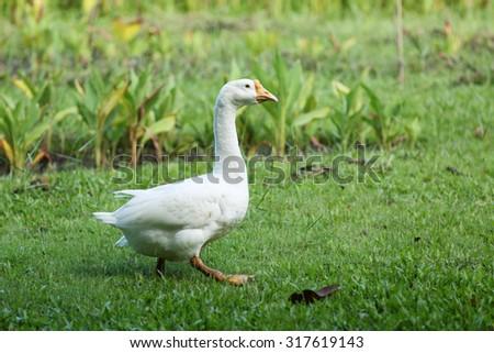 Goose in park. - stock photo