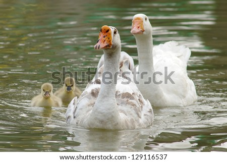 goose swimming with their goslings - stock photo