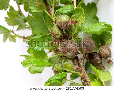 Gooseberries infected and damaged by fungus disease powdery mildew close up. - stock photo
