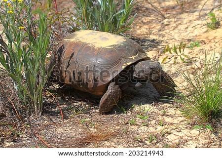 Gopher Tortoise (Gopherus polyphemus) in the dessert - stock photo