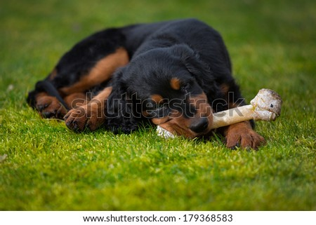 Gordon setter puppy dog laying in a meadow on the grass, chewing on a bone serving as a toy in a colorful composition - stock photo