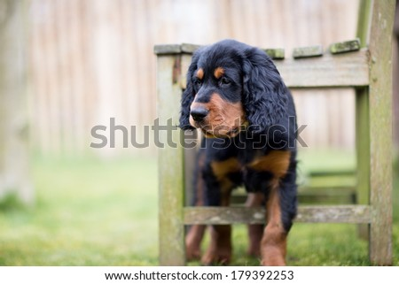 Gordon setter puppy dog playing in a meadow on the grass and with a chair, leading to a cute image with many dimensions because of shallow depth of field - stock photo