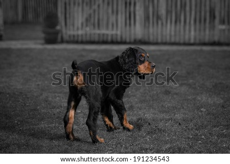 Gordon setter puppy dog standing in a meadow on the grass, and obediently looking up, in black and white combined with color - stock photo