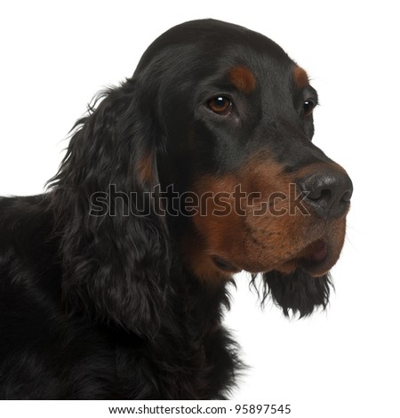 Gordon Setter puppy, 6 months old, in front of white background - stock photo