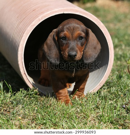 Gorgeous Dachshund puppy moving in the garden - stock photo