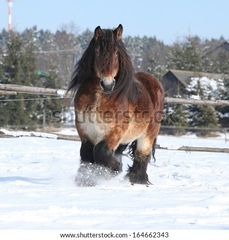 Gorgeous dutch draught horse with long mane running in the snow in winter - stock photo