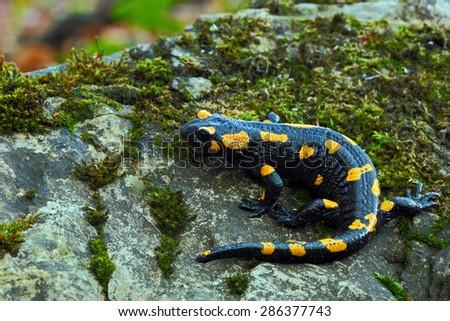 Gorgeous Fire Salamander, Salamandra salamandra, spotted amphibian on the grey stone with green moss - stock photo