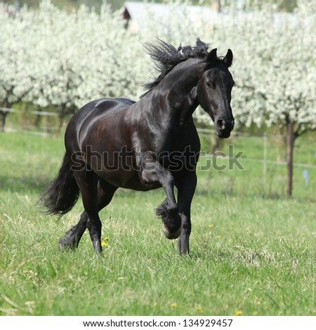 Gorgeous friesian mare running in front of flowering plum trees - stock photo